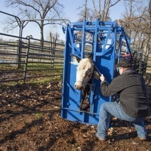 Cowboy Using A Cattle Cage With A Cow